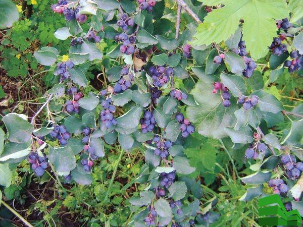 Ирга – плодоносный кустарник