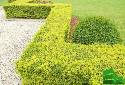 барбарис для живой изгороди
