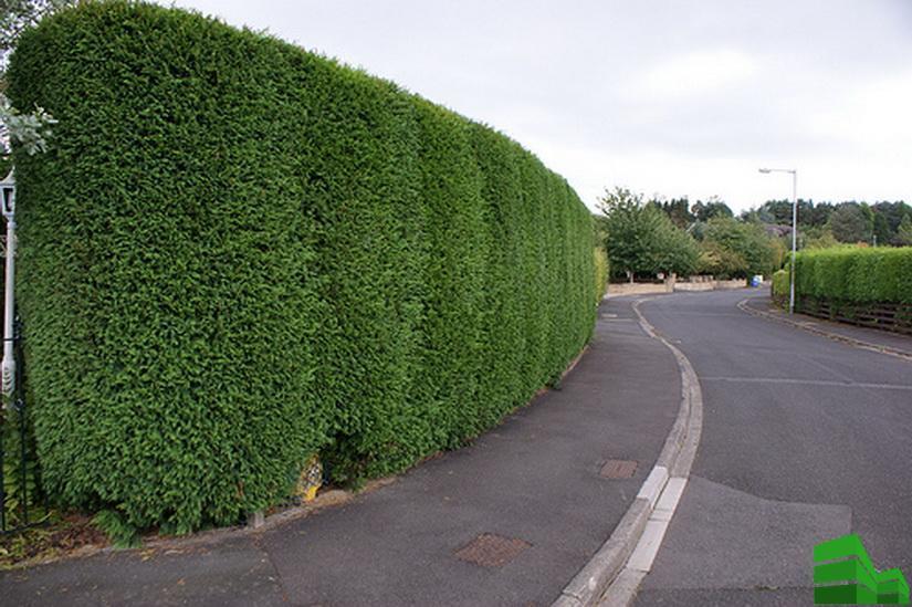 забор из хвойных деревьев