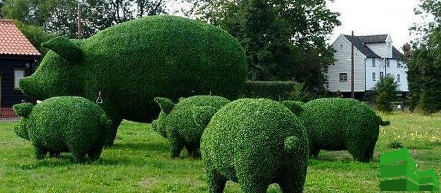 из каких кустов делают живую изгородь