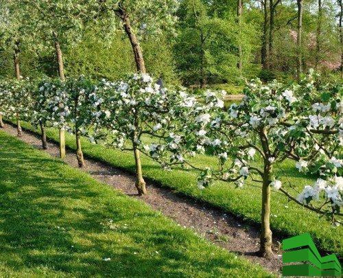 изгородь из яблони