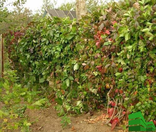 виноград на сетке рабице