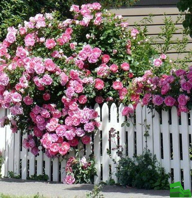 роза кустарная