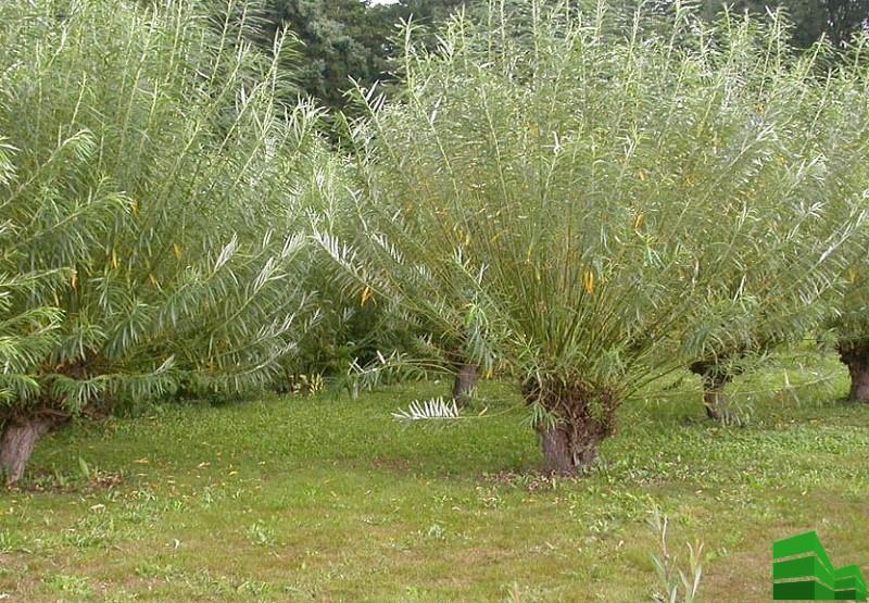 Прутовидное растени
