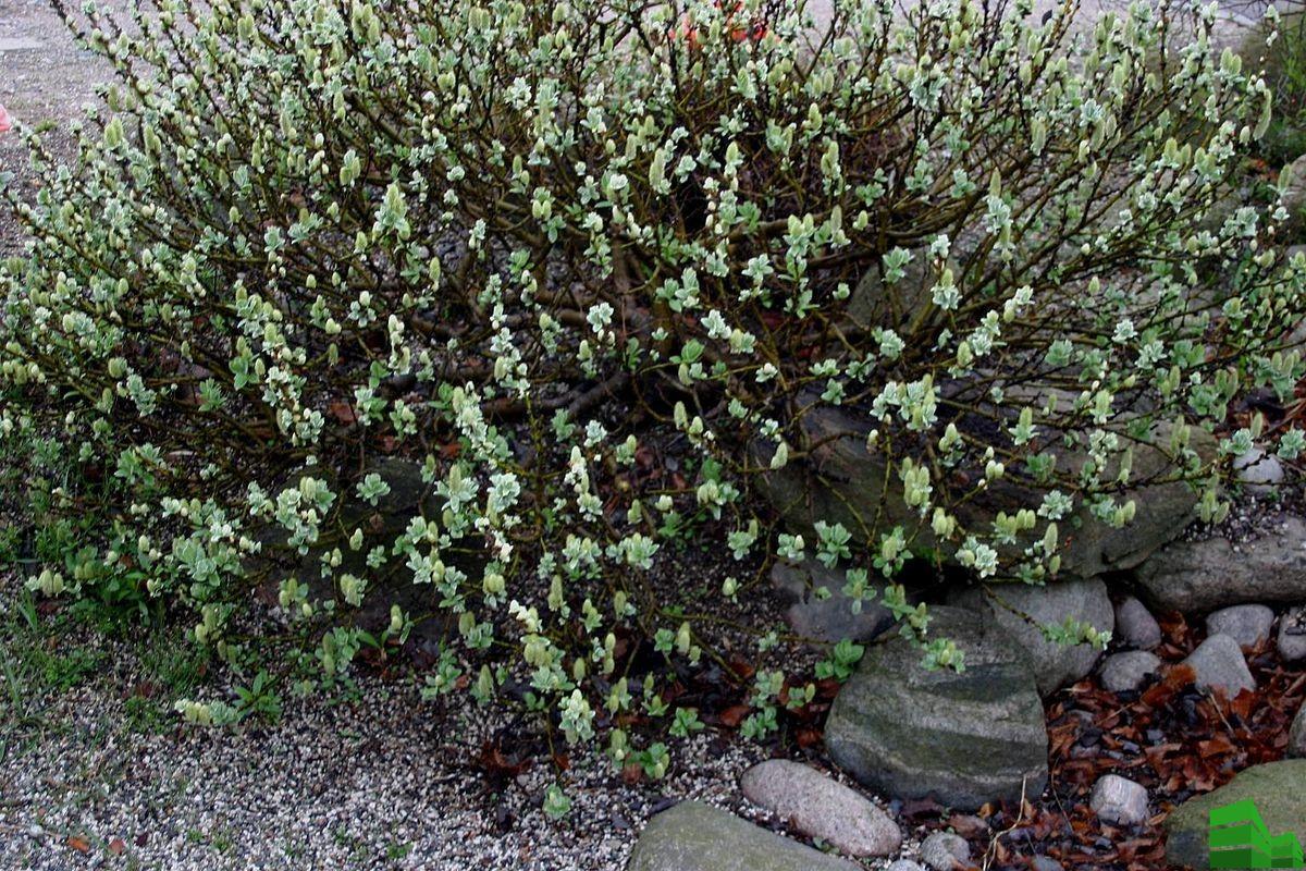 Мохнатое ивовое растение