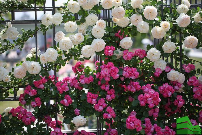 живая изгородь цветущая