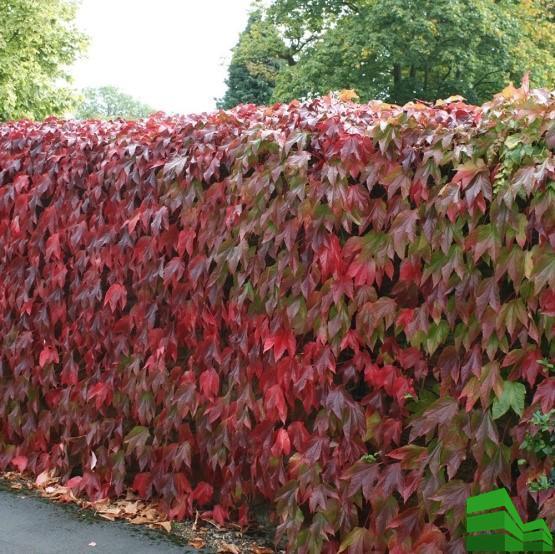 Живая изгородь из винограда осенью