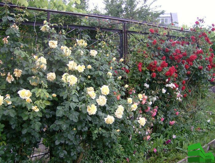 изгородь из роз