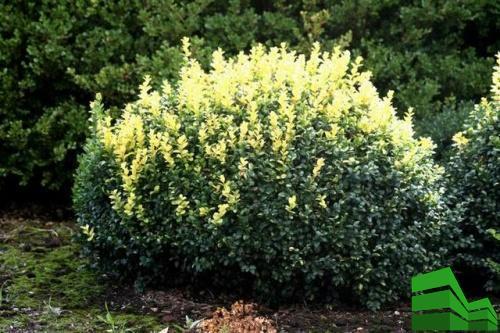 Latifolia Maculata самшит