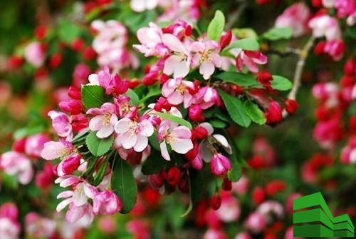 Обильноцветущий подвид яблонь