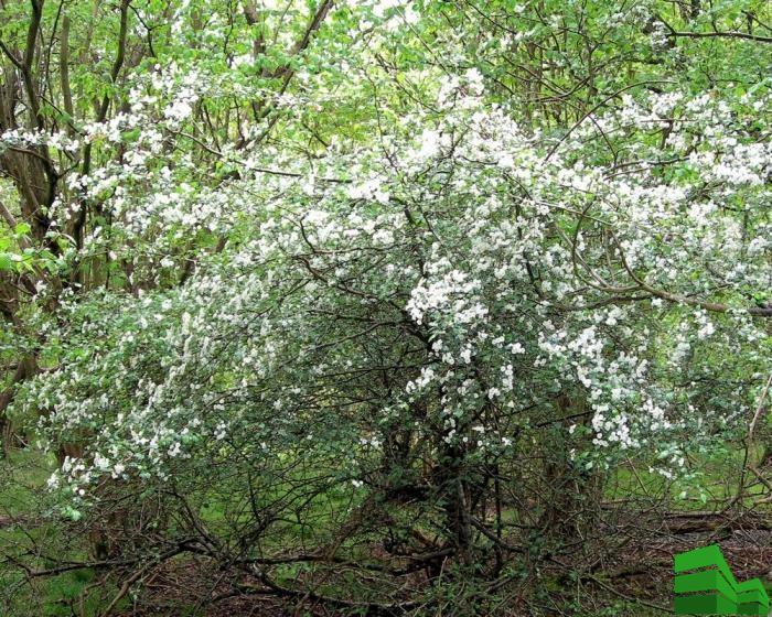 Обыкновенный (herbal-grass.com)