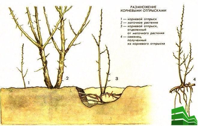 Размножение корневыми отпрысками (agronomu.com)