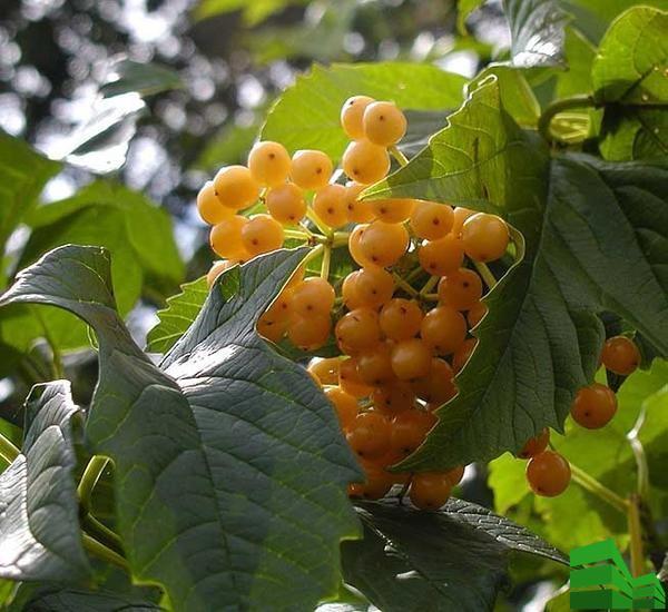 желтые плоды калины