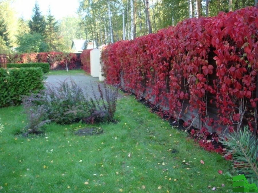 изгородь из девичьего винограда