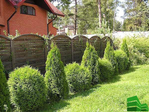 изгородь из хвойных растений