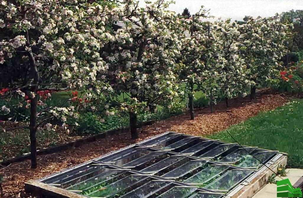 Изгородь из яблонь