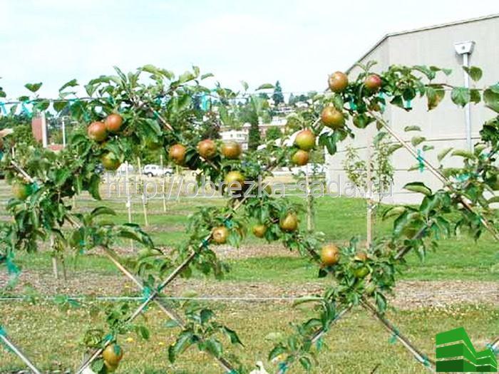 Как сделать живую изгородь из яблонь