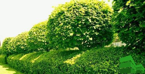 Изгородь из липы